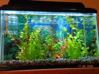 Beternak Ikan Mas Koki Isa Al Abbaad